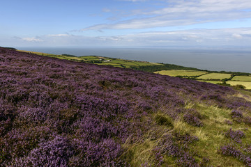 blossoming heather  in moor and Bristol channel, Exmoor