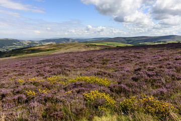 blossoming heather  in moor, Exmoor