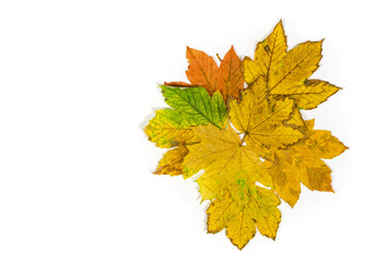 a composition of colorful maple leaves isolated on white