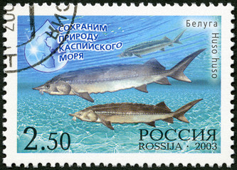 RUSSIA - 2003: shows a beluga - a sturgeon