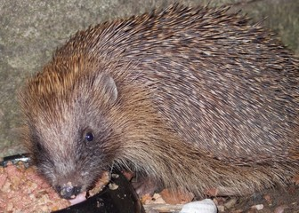 Hedgehog eating food from a bowl.
