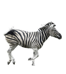 Watercolor Image Of  Zebra