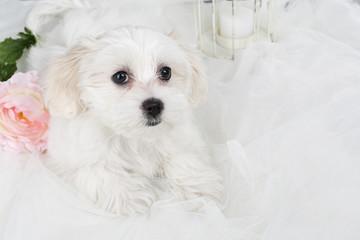 Cachorro de bichón maltés.