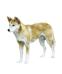 Watercolor Image Of  Australian Dingo