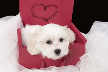 Cachorro de bichón maltés en caja.
