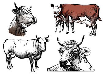 cow vector illustrations