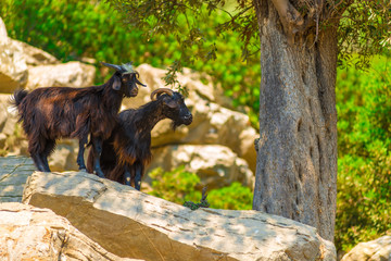 two mountain goat in natural environment