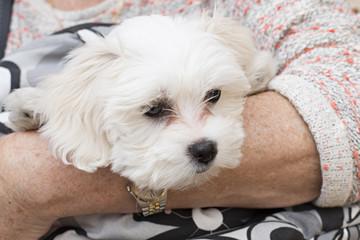 Cachorro de bichón maltés en brazos.