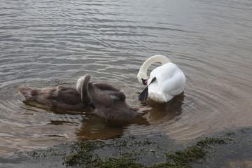 Лебедь и три молодых лебедя
