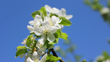 white apple blossom and green leaves, sky on background, closeup