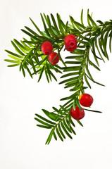 Zielona gałązka cisu z czerwonymi owocami na białym tle