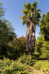 Palmier dans l'arboretum de Trestno