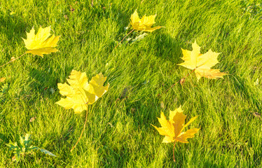 fallen leaves on a green grass.