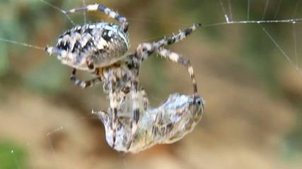 Cross spider (Araneus diadematus) caught wasp in his web