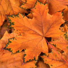 orange maple leaves in fall