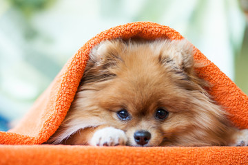 Pomeranian puppy with ladybirds