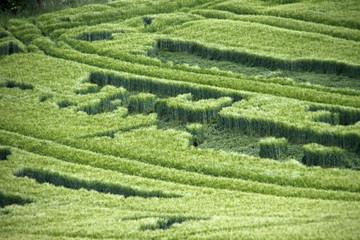 Grünes Kornfeld mit Regenschäden
