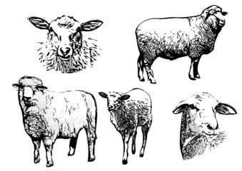 sheep vector illustrations