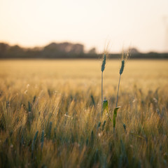 wheat. a cereal plant that is the most important kind grown in t
