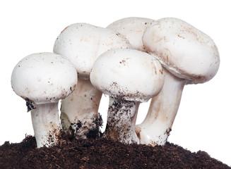 Fresh organic mushrooms