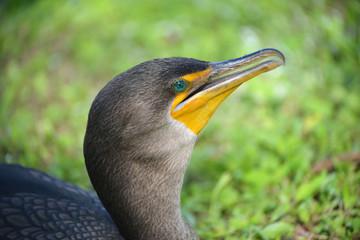 Double-crested Cormorant, Everglades, Florida