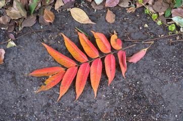 紅葉した櫨の木の落ち葉