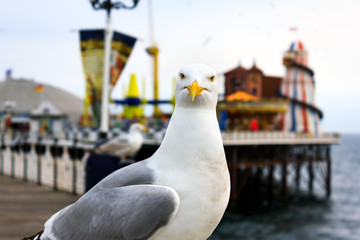 Seagull at Brighton. Shallow depth of field. Focus on the eyes.
