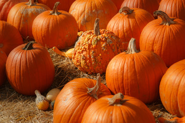 Fall pumpkin patch for Halloween, Thanksgiving, seasonal.
