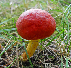 Wild Red mushroom