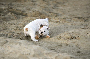 Puppies of breed the boxer play on the sands