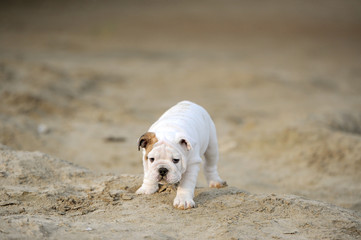 Puppy of breed the boxer play on the sands
