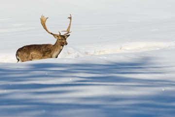 Isolated Deer on the white snow background