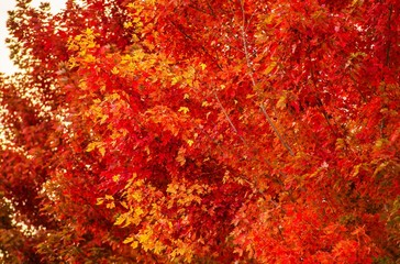 Red Fall Trees Closeup