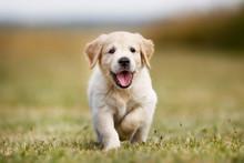"""Постер, картина, фотообои """"Happy golden retriever puppy"""""""