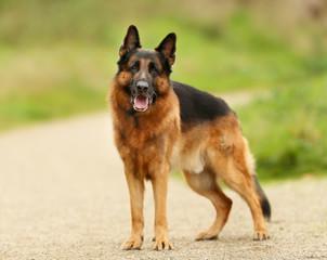 Adult German Shepherd Dog