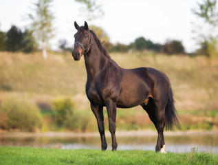 Adult Brown Horse