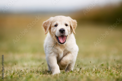 Leinwandbild Motiv Happy golden retriever puppy