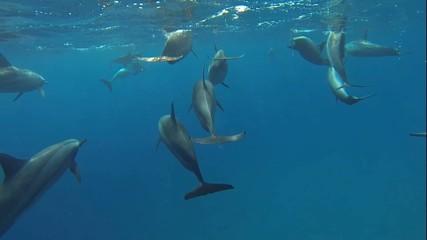 delfine beim tauchen im roten meer kommen an die oberflaeche