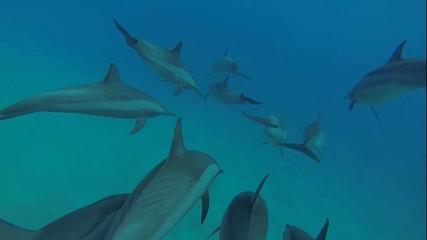 delfine im roten meer mit einer taucherin unterwasser