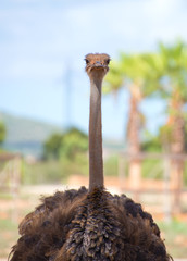 Ostrich walking in national park. Struthio camelus.