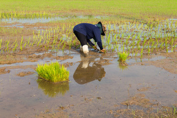 Thailand farmer planting seedlings into the soil with water.