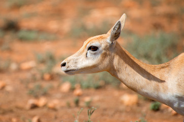 Young antilope walking in national park.