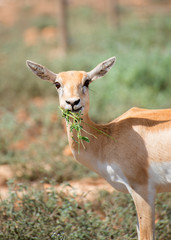 Young antilope eating in national park.