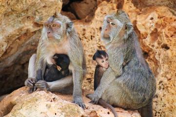Family of monkeys sitting on the stones.