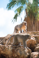 Two monkeys sitting on the stones.