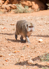 Monkey walking in national park.