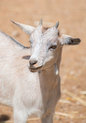 Portrait of white goat in national park.