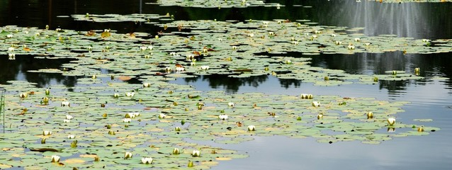 White water lily floating on a lake