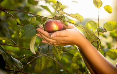 Female hands holding red apple at garden