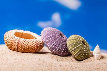 Sea Hedgehog shells  on  sand and blue sky Background